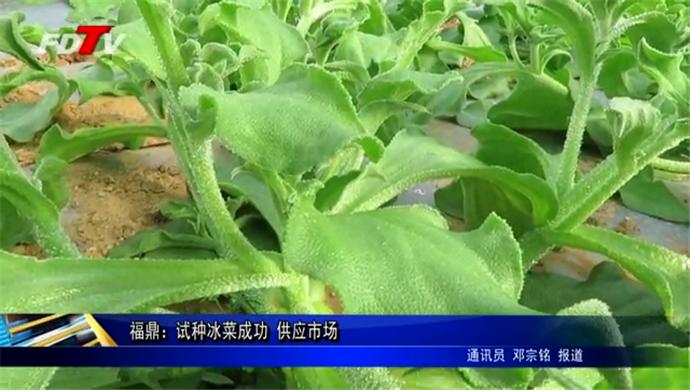 福鼎:试种冰菜成功 供应市场