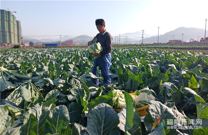 田间菜园,菜农在采收花椰菜.jpg