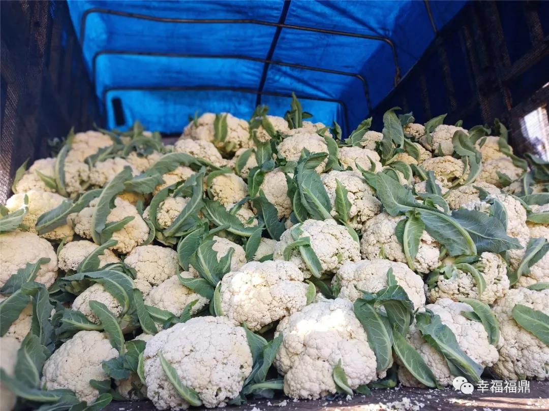 福鼎人餐桌上的花椰菜大都产自这里哟