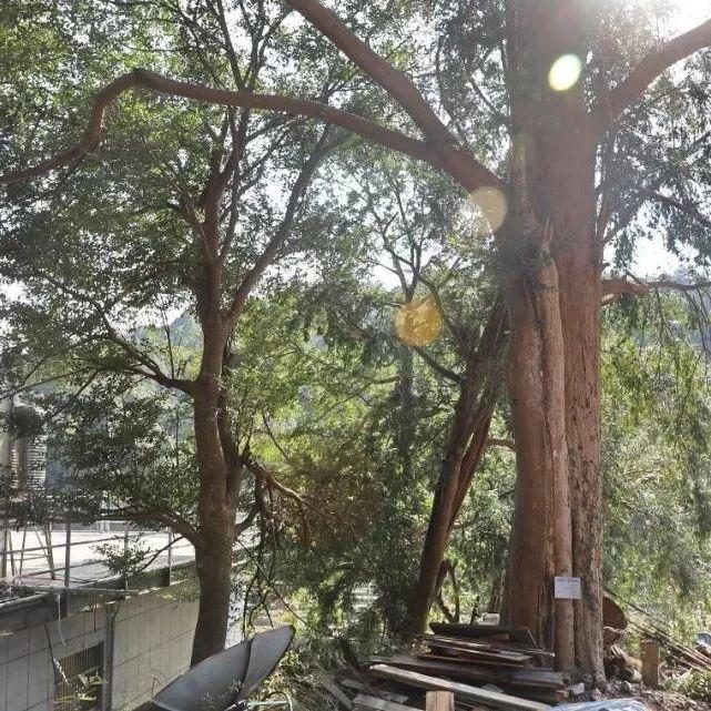 罕见!点头发现300年历史的南方红豆杉古树群