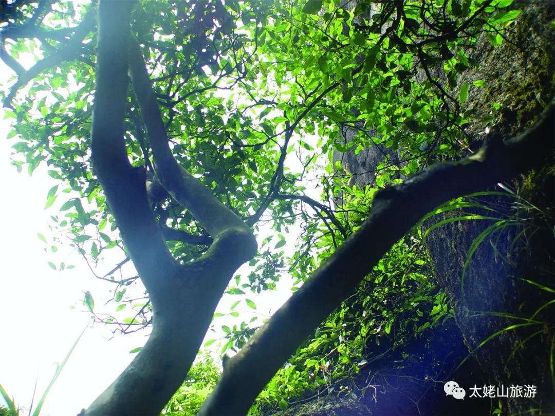 太姥山:白茶山
