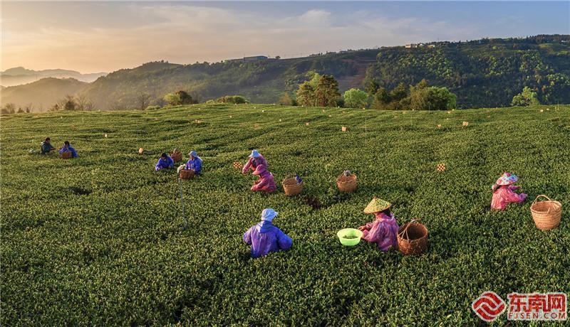 福鼎:茶香氤氲暖大地