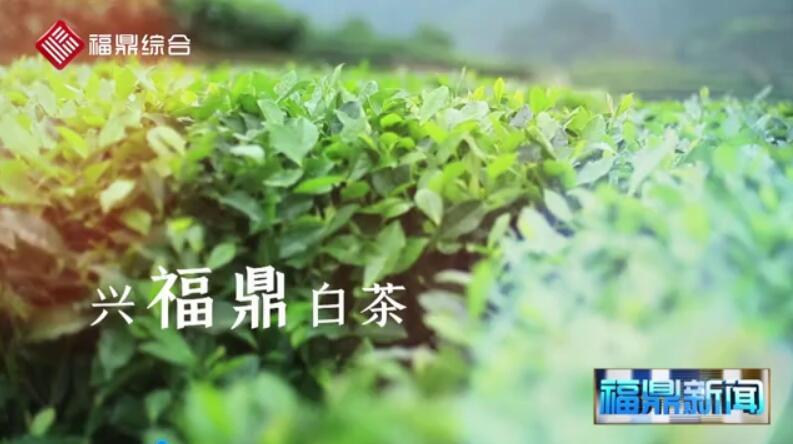 第九届福鼎白茶开茶节宣传片花