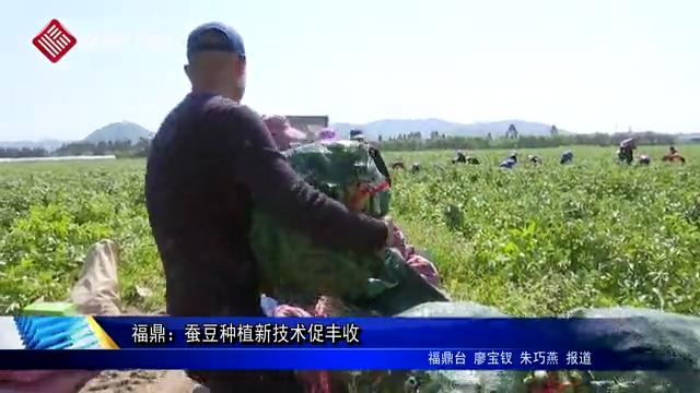 福鼎:蚕豆种植新技术促丰收
