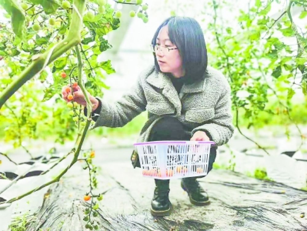 闽东福鼎:智能大棚 无土栽培 樱桃番茄熟了