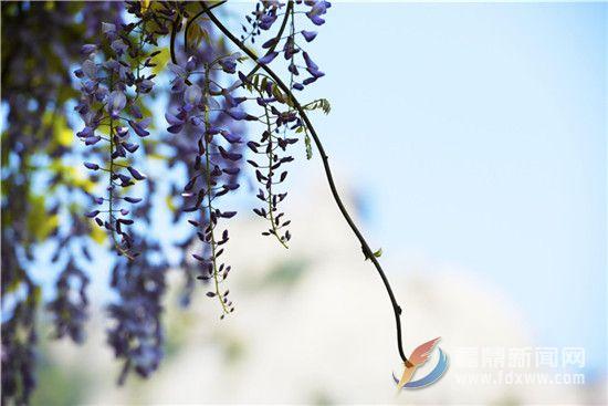 太姥山的紫藤花