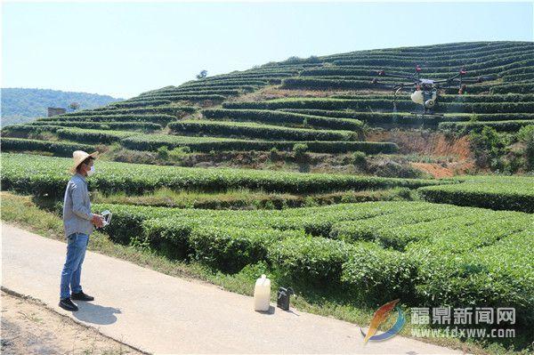 """茶树病虫害绿色防控社会化服务打造茶乡""""金叶子"""""""