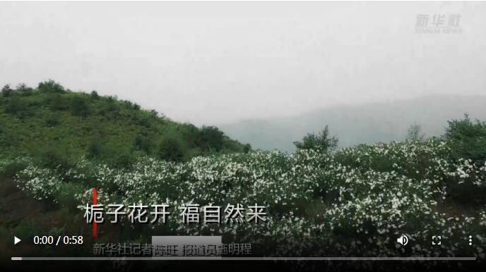 视频|闽东福鼎:栀子花开 福自然来
