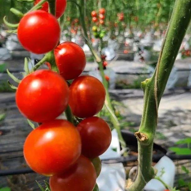 一口爆浆的叠石樱桃番茄吃吗?明天的展销活动约起来~