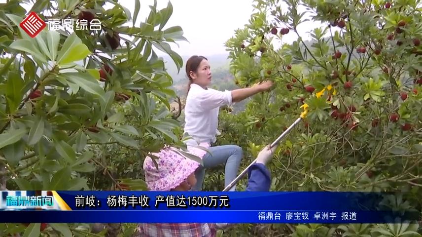 前岐:杨梅丰收 产值达1500万元
