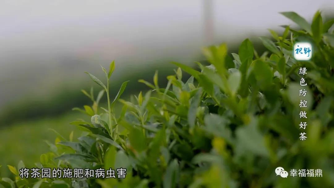 【视野】绿色防控做好茶