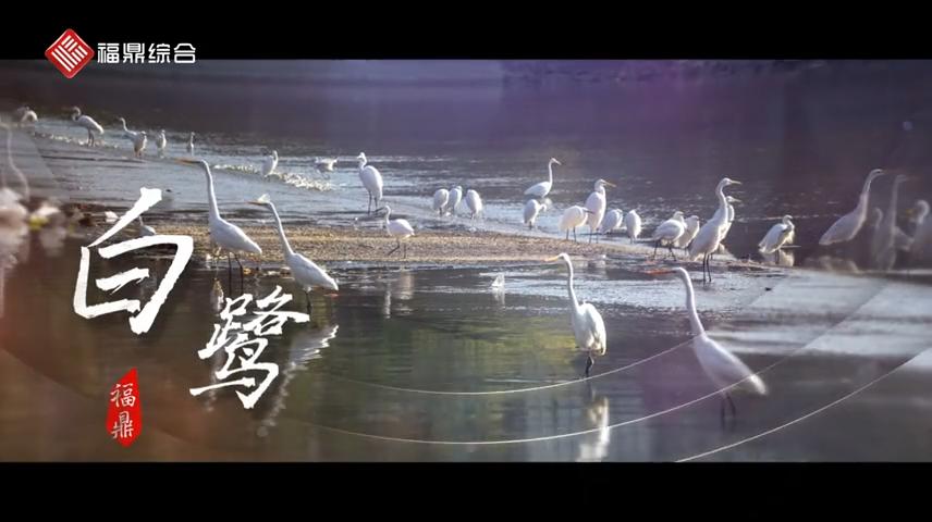 【短视频】-- 白鹭