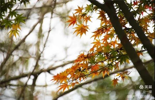 这几天,太姥山的枫叶红了,了解一下