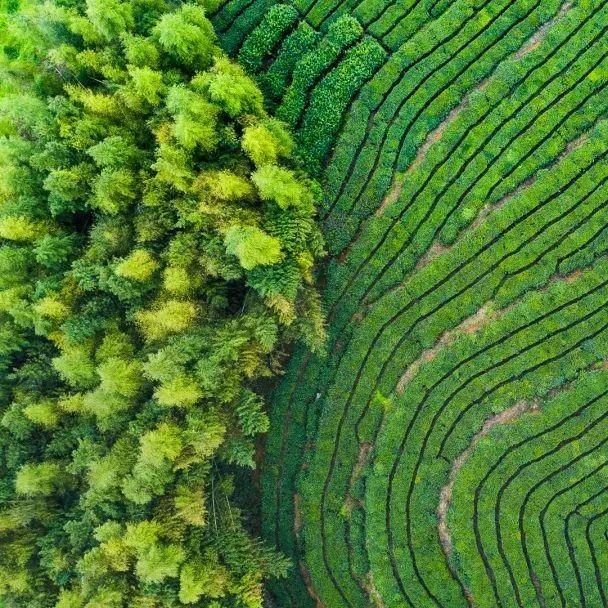 拥抱新科技!信息化可追溯体系让福鼎白茶产业更添活力