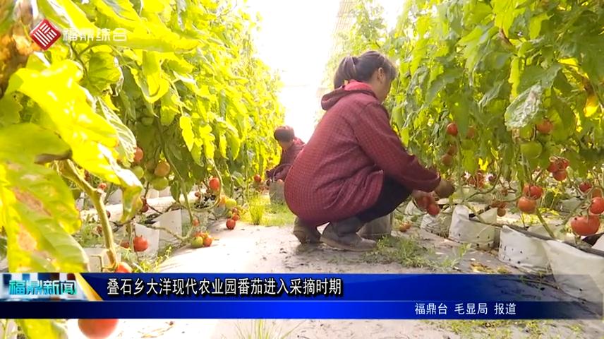 叠石乡大洋现代农业园番茄进入采摘时期