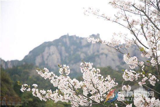 樱花绽开春意浓 太姥踏春正当时