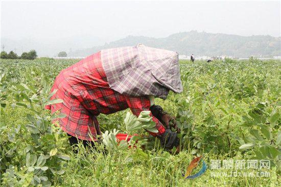 太姥山镇千亩蚕豆进入采摘季